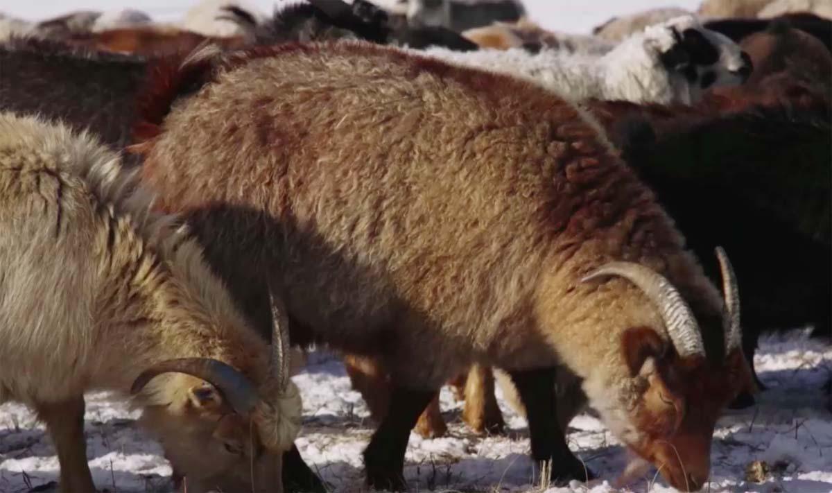 Cachemire-Haut-de-Gamme-Mongolie-Au-fil-du-Monde-6